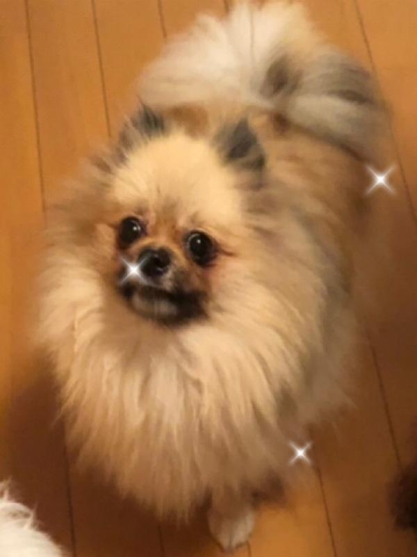 MakeLetトータルヘアープロデュースの看板犬第7代ポメのくるみでございます。