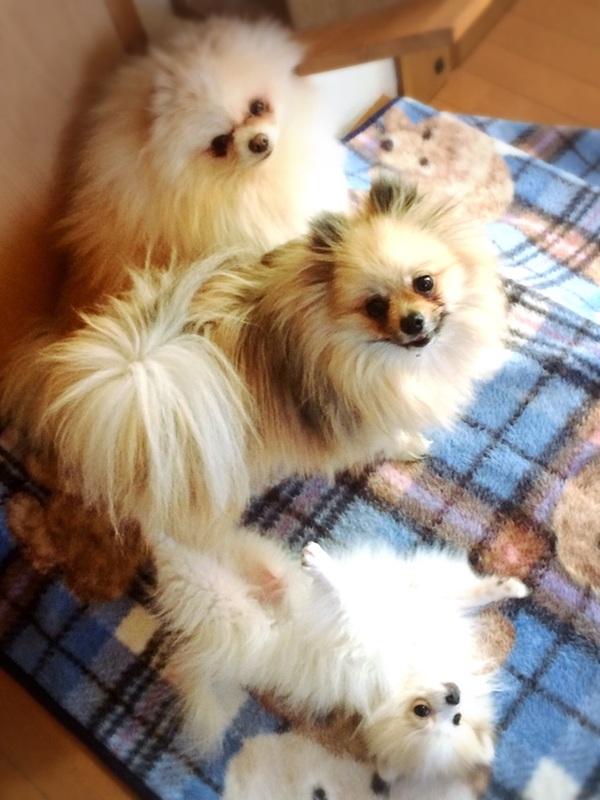 MakeLet看板犬仲良し3匹組のポメラニアン