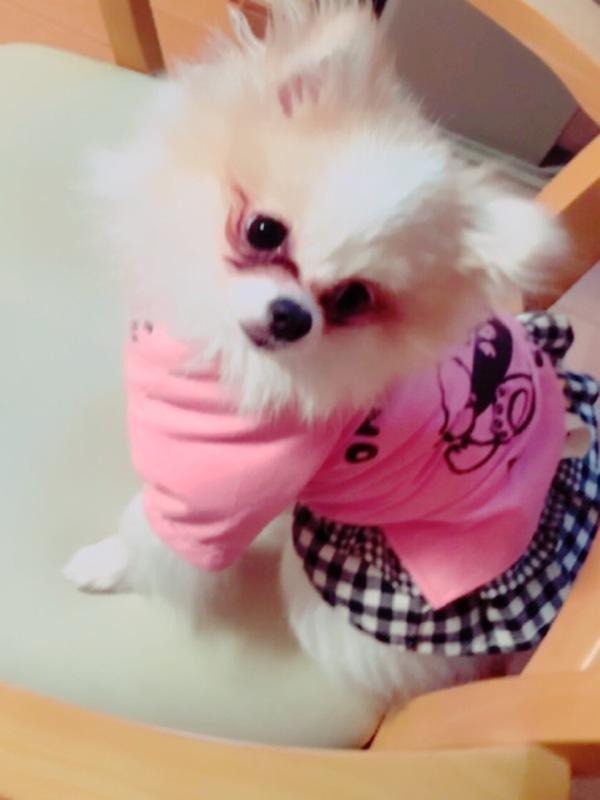 MakeLetトータルヘアープロデュースの看板犬第8代ポメラニアンのふくすけ君!!